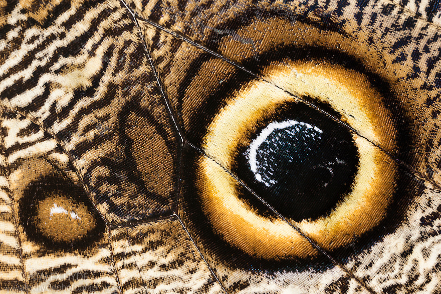 Close-up of eye spot on wing of Owl Butterfly {Calligo eurilochus}. Captive