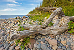 Acadia National Park, Maine: Weathered  driftwood on rock covered Hunters Beach
