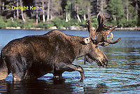MS01-050z  Moose - bull (male) feeding at Sandy Stream Pond in Baxter State Park, Maine - Alces alces