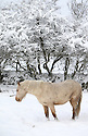 A horse looks for food on snow covered fields high on the hill roads around Belfast, Northern Ireland, Thursday Jan 29th, 2015. A 130 schools where forced to close due to the weather along with bus services. Photo/Paul McErlane
