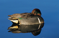 Green-winged Teal, Anas crecca, male resting, Port Aransas, Texas, USA