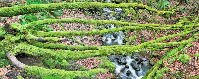 Cabin Creek with moss coverted downed tree. Columbia River Gorge National Scenic Area, Oregon