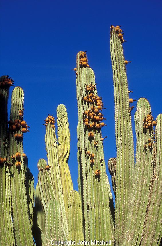 Giant cardon cactus near the town of San Jose del Cabo, Baja California Sur, Mexico