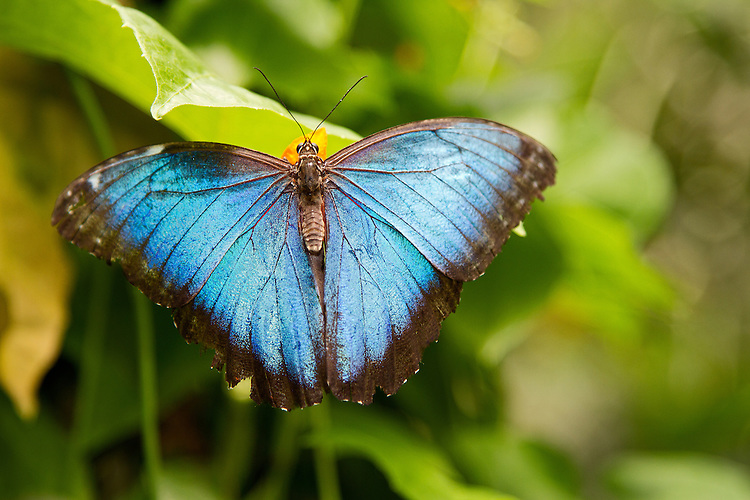 A Blue Morpho show off his lovely coloring with his wings fully spread as he enjyoys a yellow flower. The beautiful blue color and the body, head and antennae are prominent.