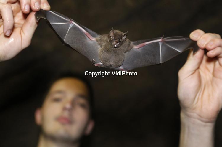 Foto: VidiPhoto<br /> <br /> ARNHEM &ndash; Een opmerkelijke stijging van het aantal vleermuizen in Burgers' Zoo in Arnhem, zo bleek woensdag bij de jaarlijkse vleermuizentelling. Bovendien zijn er voor het eerst meer vrouwtjes dan mannen. De oorzaak van dat laatste is onbekend. In totaal werden er 382 -inclusief elf jongen-  geteld in de zogenoemde vleermuizentunnel, 37 meer dan vorig jaar. Met de tientallen losvliegende vleermuizen in de Bush meegeteld komt het totaal aantal ruim over  400 stuks. Nog niet eerder waren er zoveel brilbladneusvleermuizen in de Arnhemse dierentuin. De jaarlijkse telling is een belangrijk ijkmoment om niet alleen de lichamelijke conditie van elke vleermuis te kunnen bekijken, maar vooral ook om de geslachtsverhouding binnen de groep nauwlettend te monitoren. Deze Zuid-Amerikaanse vleermuissoort leeft namelijk in haremgroepen, waarbij &eacute;&eacute;n man zijn vaste hangplek (territorium) deelt met enkele vrouwen. Als het percentage mannen in de groep te groot wordt, ontstaat er druk op de aanwezige vrouwen en de jongen die ze mogelijk op dat moment grootbrengen. De groeiexplosie is grotendeels te danken aan een verdere verfijning van het menu van de dieren door onder meer vleerhondennectar toe te voegen en de creatie van extra hangplekken.