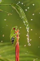 A red-eyed tree frog sheltered from rain