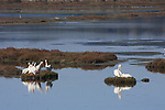 White pelicans at Elkhorn Slough