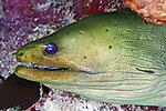 Gymnothorax funebris, Green moray, Roatan