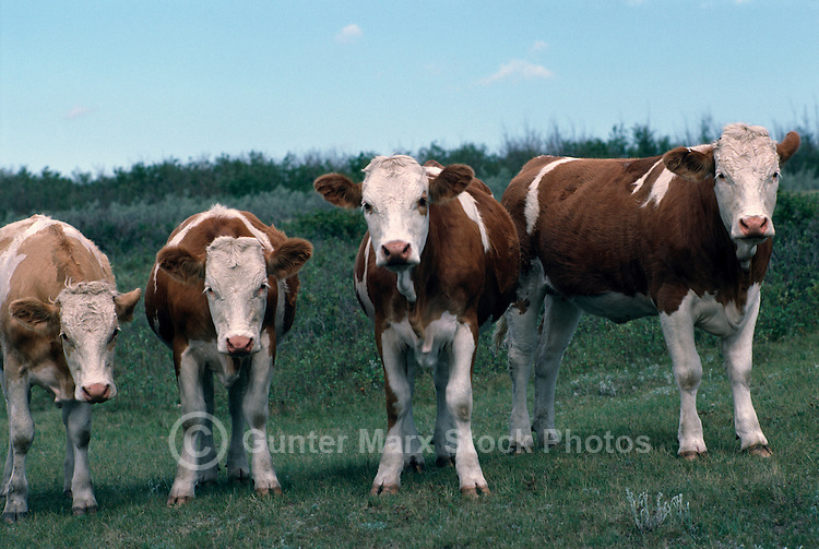 Small Herd of Cattle / Cows and Heifers standing in a Pasture, British Columbia, Canada