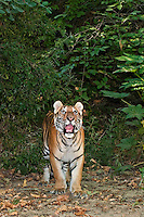 684080006 a juvenile wildlife rescue siberian tiger panthera tigris altaicia explores a tree lined walk near his enclosure at a wildlife rescue facility - species is highly endangered in the wild - mungar
