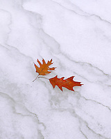 Starved Rock State Park, IL<br /> A pair of oak leaves lay on the forzen ice in LaSalle canyon