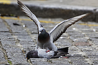2018 05 16 Pigeons on Wind Street, Swansea, UK