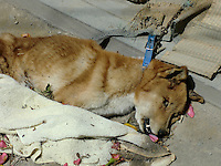 A dog is dead after starving to death remains tethered to their homes and abandoned near the Fukushima Daiichi Power Plant, Fukushima Prefecture, Japan.  Since the declaration of the 20 kilometer exclusion zone around the leaking nuclear power plant  thousands pets have been deserted and lost their home when their owners were forced live in evacuation shelters...PHOTO BY SINOPIX
