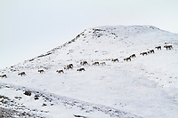 Caribou traverse the snow covered foothills of the Brooks Range, Arctic, Alaska.