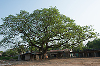Bangladesh, Jhenaidah, big tree overlooking slum.