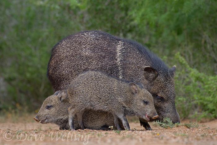 650520324 wild javelinas or collared peccaries dicolytes tajacu forage near a waterhole on santa clara ranch in starr county rio grande valley texas united states