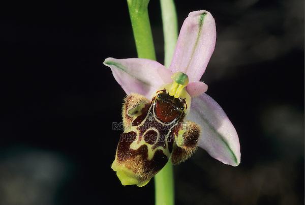 Gadfly Orchid, Ophrys oestrifera, blossom, Samos, Greek Island, Greece ,Europe