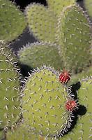 Europe/Espagne/Canaries/Lanzarote/Guatiza : Le jardin de cactus conçu par Cesar Manrique -Opunta zebriana