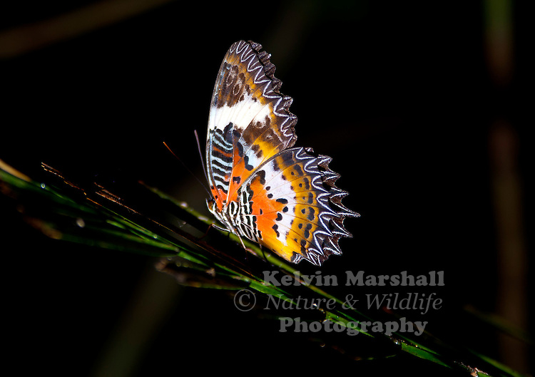 Malay Lacewing A beautiful butterfly with wings of orange and red surrounded by broad black borders. The wings are scalloped, giving the hind-wings its sawtooth-like edges. The undersides are orange and red with white fasciae and black spots forming an intricate pattern.