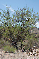 Mesquite, Prosopis sp.  Estes Canyon, Organ Pipe Cactus National Monument, Arizona.