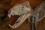 Hyaenodon sp., 35 million years, South Dakota