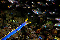 A Ribbon Eel (Rhinomuraena quaesita) tries to ambush a school of Fragile Cardinalfish in the Witu Islands off New Britain Island, Papua New Guinea.