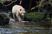 "Kermode ""Spirit"" Bear searching for salmon along a river"