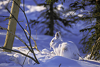 Snowshoe hare in boreal forest near the Brooks Range, Alaska