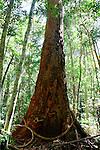 Turpentine Tree, Katandra Reserve, NSW
