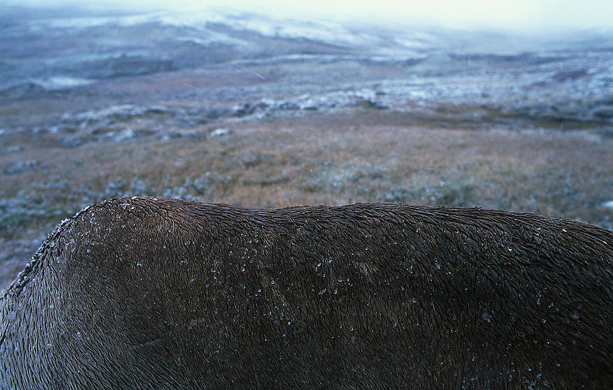 Back of wild reindeer in snowy weather, Villreinrygg i snøvær   Trond Are Berge