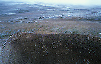 Back of wild reindeer in snowy weather, Villreinrygg i snøvær   Trond Are Berge
