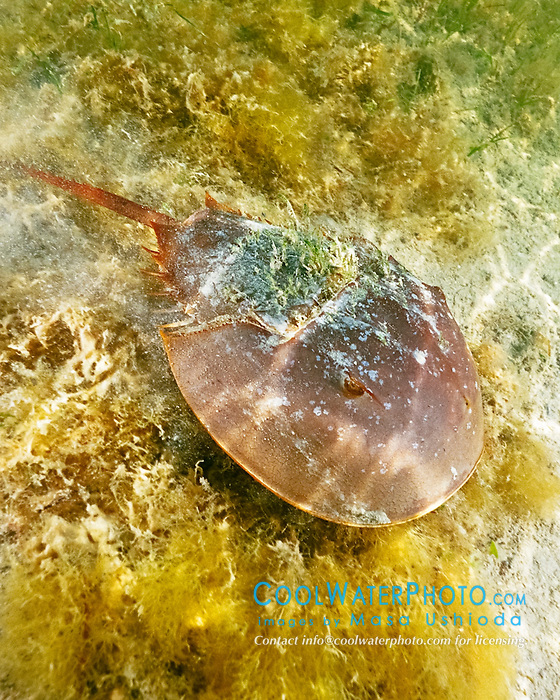 Atlantic horseshoe crab, Limulus polyphemus, Florida Bay, Everglades National Park, Florida, Gulf of Mexico, Caribbean Sea, Atlantic Ocean