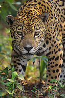 Jaguar (Panthera onca), Central America.