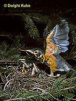 RO06-001z  American Robin - young flapping wings, learning to fly - Turdus migratorius