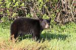 WILDLIFE: BEARS
