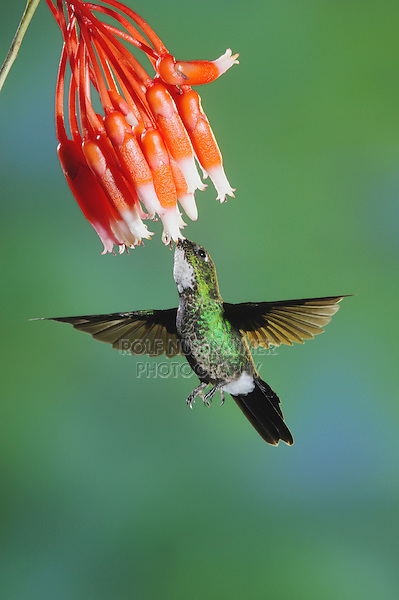 Tourmaline Sunangel (Heliangelus exortis), female feeding from flower,Papallacta, Ecuador, Andes, South America