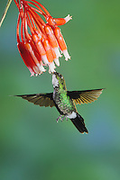 Tourmaline Sunangel (Heliangelus exortis), female feeding from flower,Papallacta, Ecuador, Andes, South America