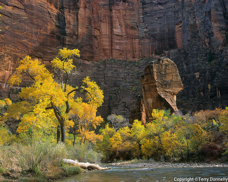 Zion National Park, UT: Fall gold & green Cottonwoods alsong the Virgin River with the Pulpit in the Temple of Sinawava