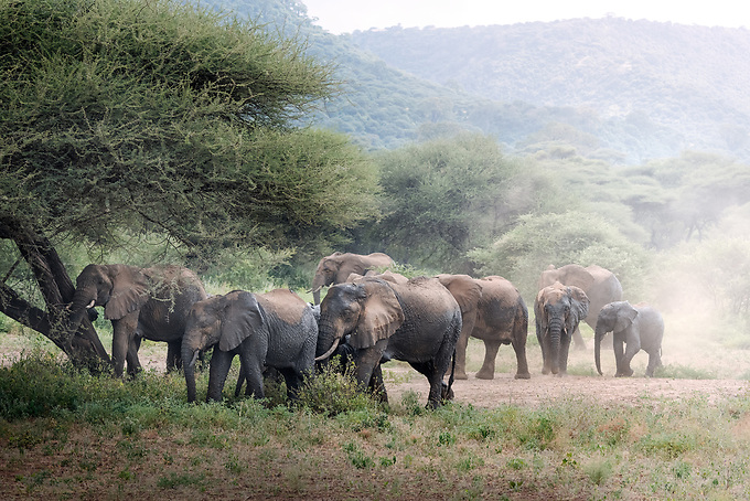 A family of elephants hustle across the Serengetti wilderness in search of water in the late day.