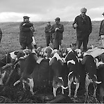 The Dummer Beagles..At the end of the day, very exhausted and thirsty beagles drink from a cattle trough. Manor Farm, Upper Slaughter, Gloucestershire. Hunting with Hounds / Mansion Editions (isbn 0-9542233-1-4) copyright Homer Sykes. +44 (0) 20-8542-7083. < www.mansioneditions.com >.