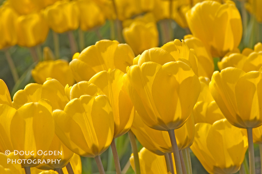 Yellow tulips, Skagit Valley, Washington