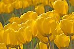 Yellow tulips, Skagit Valley, Washington
