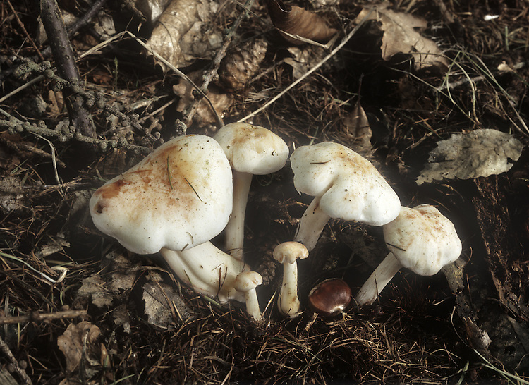 Spotted Toughshank - Collybia maculata