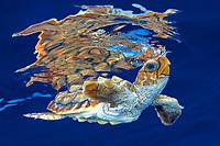loggerhead turtle hatchling, Caretta caretta, swimming in open ocean, Bahamas, Caribbean Sea, Atlantic Ocean