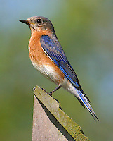 Adult female eastern bluebird on nest box