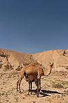 Israel, Camels at Wadi Gov in the Negev desert