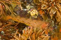 Longfin Sculpin Jordania zonope Southeast Alaska