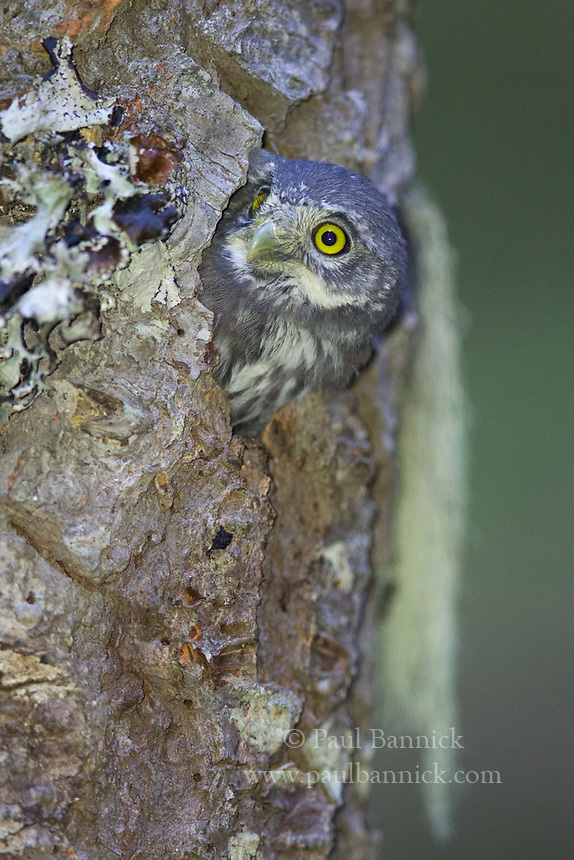 A Northern Pygmy-Owl nesting peers from its nest cavity.