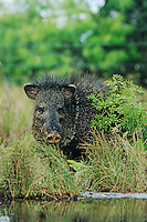 Collared Peccary, Javelina, Tayassu tajacu, adult drinking, Starr County, Rio Grande Valley, Texas, USA, May 2002