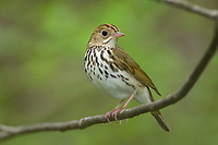 Adult male Ovenbird (Seiurus aurocapilla). Tompkins COunty, New York. May.